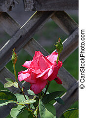 Buds and Pink Rose