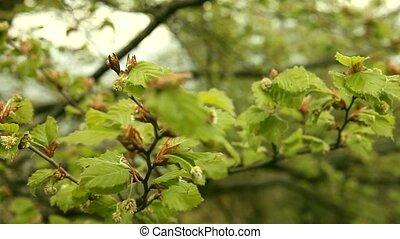 Buds at tree - buds
