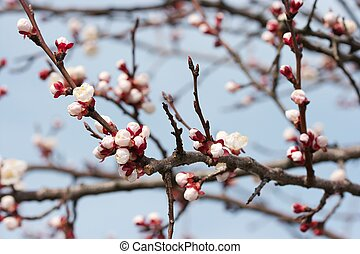 Fresh buds on tree branches in springtime