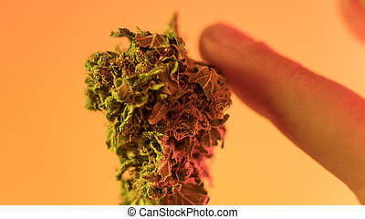buds., macro, médico, marijuana, strains, 2018