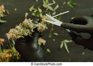 buds., marijuana, cannabis, fresco, aparando, colheita, grower, homem