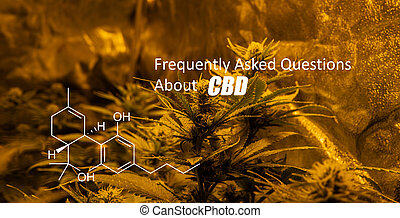 buds., marijuana, psychoactive, general, cannabis, ...