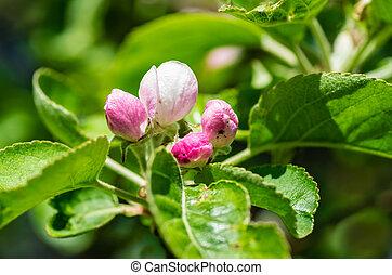Buds of apple blossom.