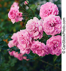 buds of pink blooming roses in the garden, green background