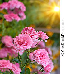 buds of pink blooming roses in the garden, rays of the bright sun