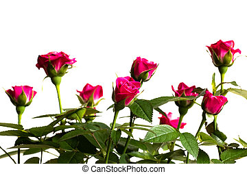 Buds of pink roses on a white background