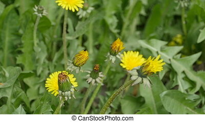Buds of yellow dandelions on a green background, loop