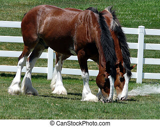 Buds - Majestic Clydesdales munching together on some field...