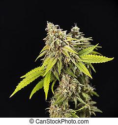 buehne, spät, haare, eichen, blühen, cannabis, (thousand, ...