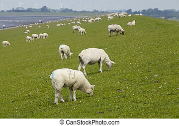 Buesum - Dike with sheeps - A dyke near Buesum in North...