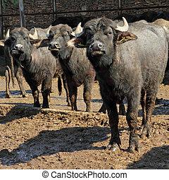 bufala, mediterranea, italiana, (, mediterranea, italiana,...