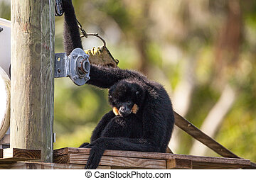 Buff-cheeked gibbon Nomascus gabriellae sits on a dock and...