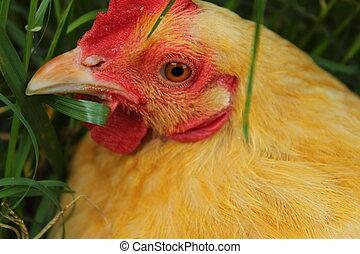 Buff Orpington backyard chicken