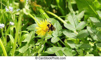 buff-tailed bumblebee on dandelion