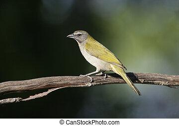Buff-throated saltator, Saltator maximus, single bird on branch, Brazil