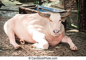 buffalo., albino