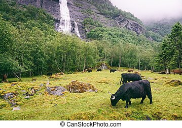 Buffalo and waterfall