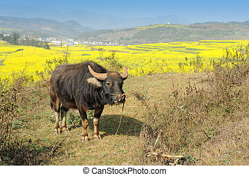 Buffalo asia,rapeseed field in the springtime