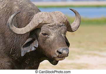 buffalo at amboseli national park, kenya