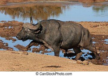 Buffalo at Waterhole - Large African buffalo climbing out of...