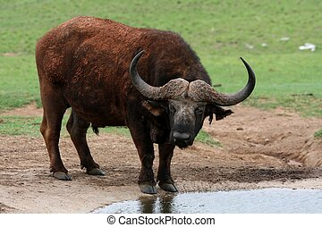 Buffalo at Waterhole - Cape African buffalo with large horns...