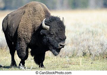 Buffalo at Yellowstone