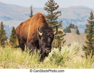 Buffalo - bizon