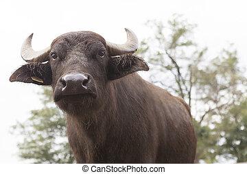 Buffalo breeding - italian buffalo breeding which produces ...