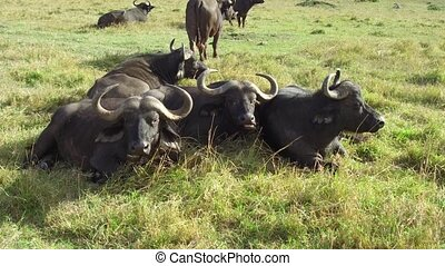 animal, nature and wildlife concept - buffalo bulls gazing in maasai mara national reserve savanna at africa