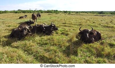 buffalo bulls gazing in savanna at africa