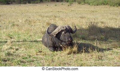 buffalo bulls gazing in savanna at africa - animal, nature...