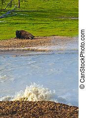 Buffalo by the Geyser