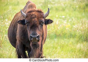 Buffalo Closeup