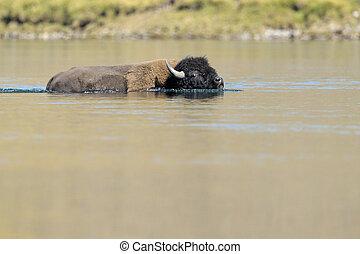 Buffalo crossing a river at Yellowstone