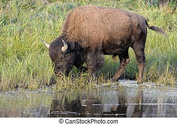 Buffalo drinking in pool at Yellowstone