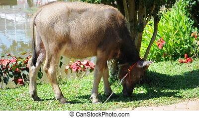buffalo eat grass