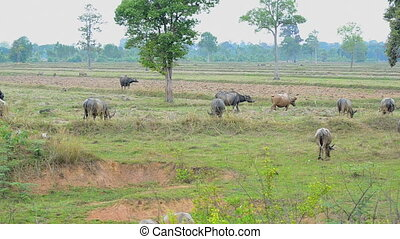 Buffalo eating grass in nature rice field at the countryside