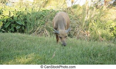 Buffalo eating grass