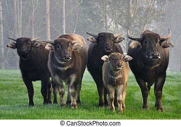 Family of swamp buffalo, Bubalus bubalis, the most important domesticated animal to man, found on the Indian subcontinent to Vietnam and Peninsular Malaysia, in Sri Lanka, in Luzon Island in the Philippines, and in Borneo. Water buffaloes are especially suitable for tilling rice fields, and their ...