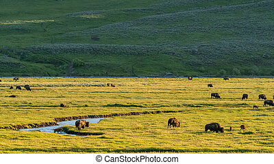 Buffalo Graze in Lamar Valley in late afternoon light