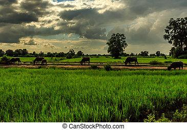 Buffalo graze in the green Cambodian countryside as the sun goes down