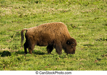 Buffalo Grazing I