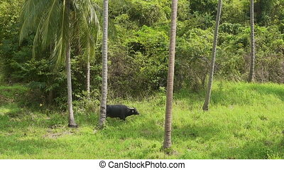 Buffalo grazing in a hayfield. Palm trees in the background...