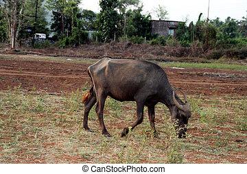 buffalo grazing in the fields