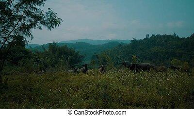 Buffalo herd at riverside in beautiful green Chiang Rai...