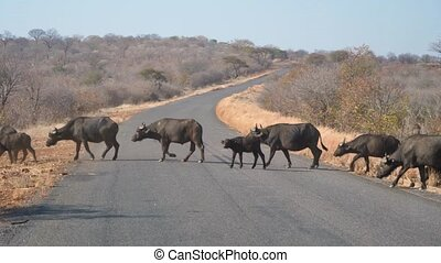 Buffalo Herd Crossing Road in Botswana