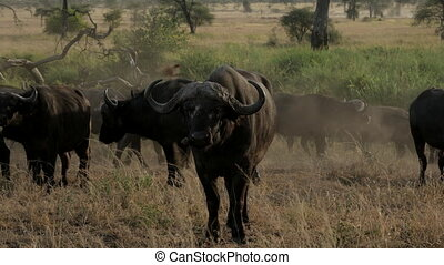 Buffalo Herd in Serengeti National Park in Tanzania.