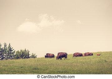 Buffalo herd on a green meadow