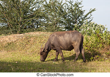 buffalo in a rice field