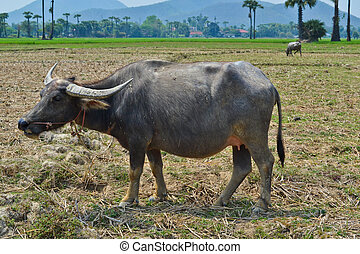 buffalo in country farm of thailand